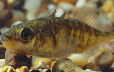 Cá Ba Gai Đặc sản Hạ Long