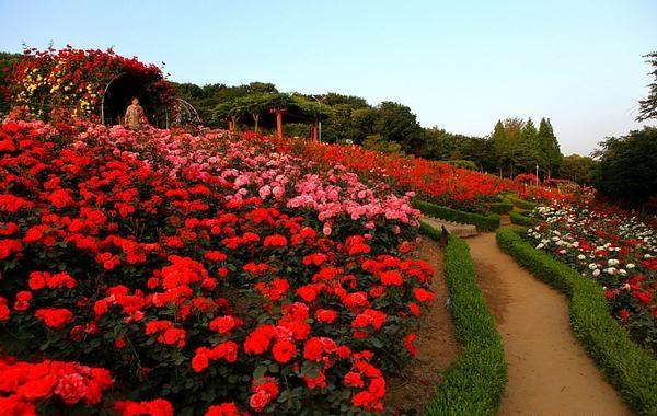 Ngỡ ngàng trước vẻ đẹp của thung lũng hoa hồng