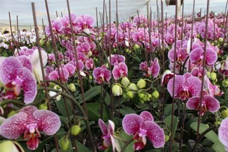 Thiên đường hoa Mộc Châu